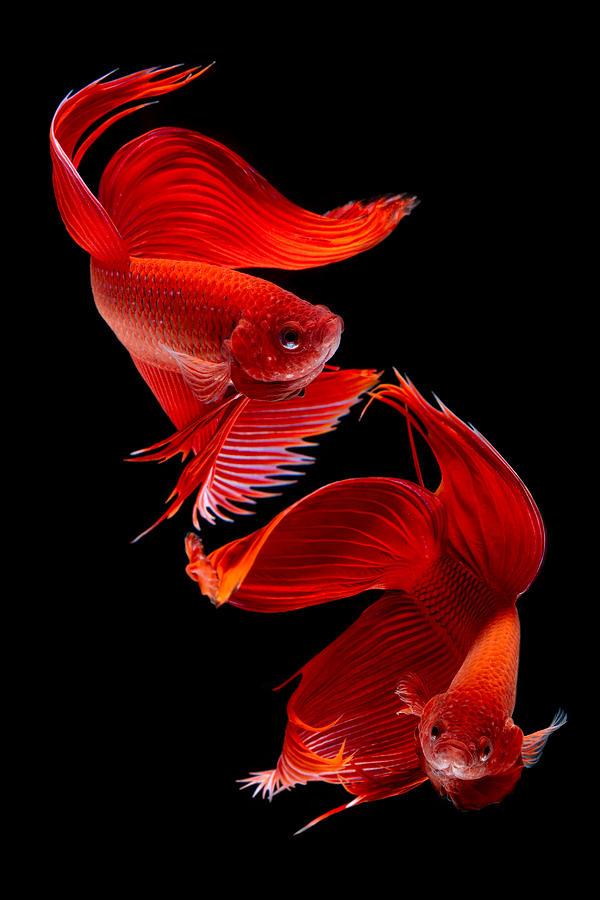 Alternative Photograph - Siamese Fish by Subpong Ittitanakul