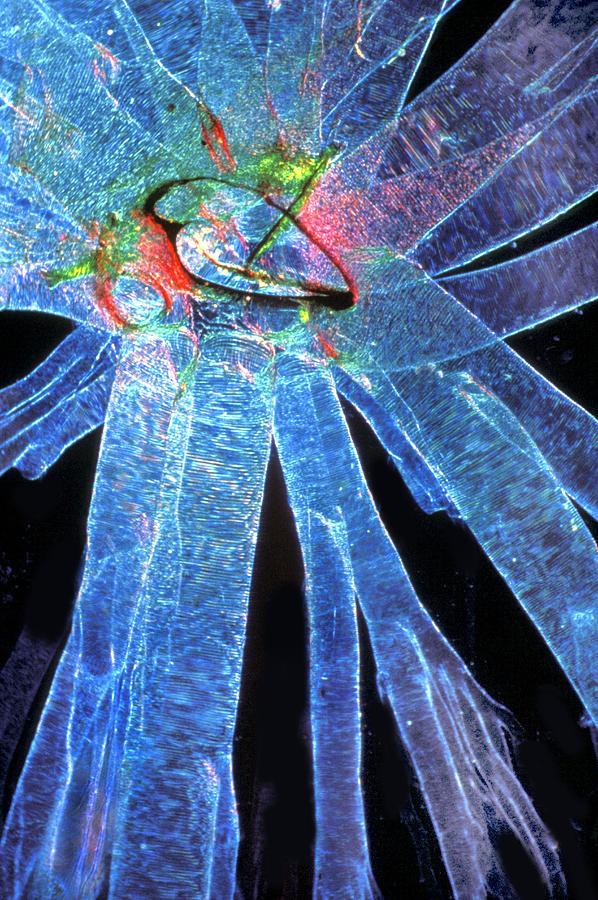 Silk Moth Photograph - Silk Moth Caterpillar Breathing Pore by Dr Keith Wheeler