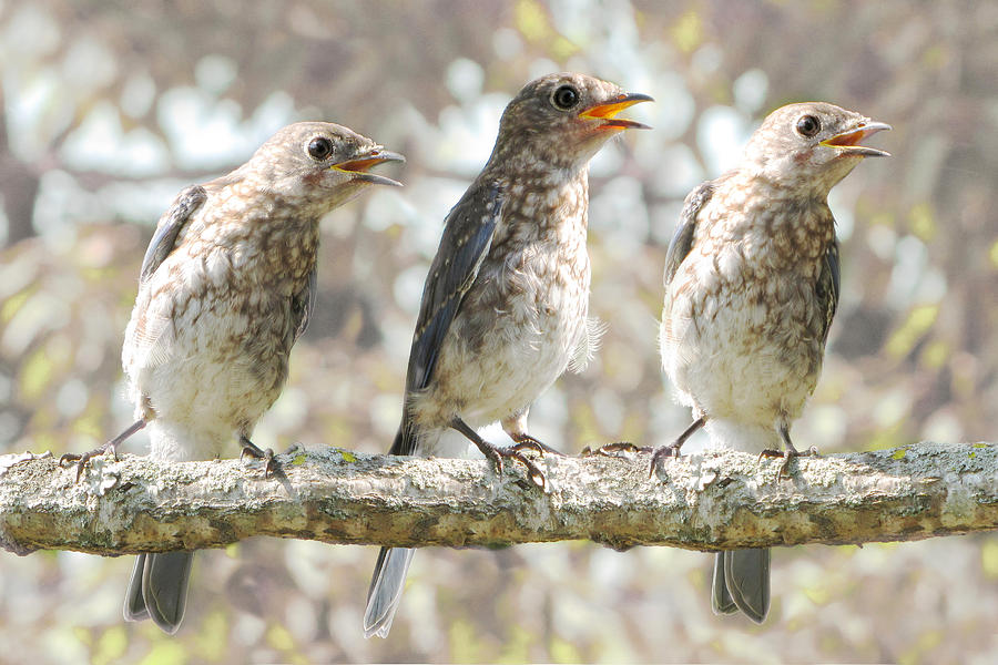 Singing Birds Photograph - Sing Sing Sing by Amy Tyler