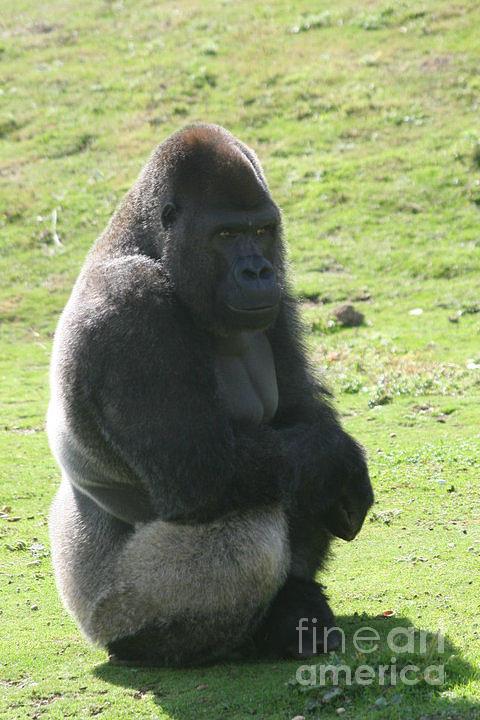 Sitting Photograph - Sitting Gorilla by Carol Wright