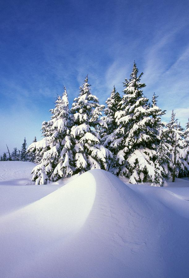 Outdoors Photograph - Snow-covered Pine Trees by Natural Selection Craig Tuttle