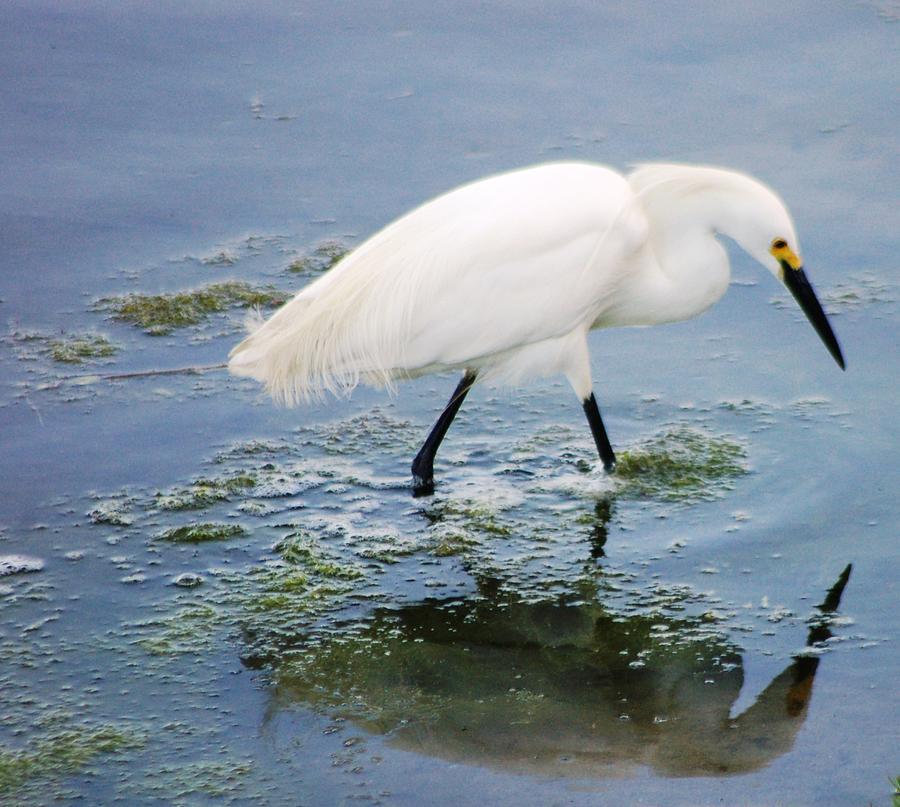 Snowy Egret Photograph by Meeli Sonn