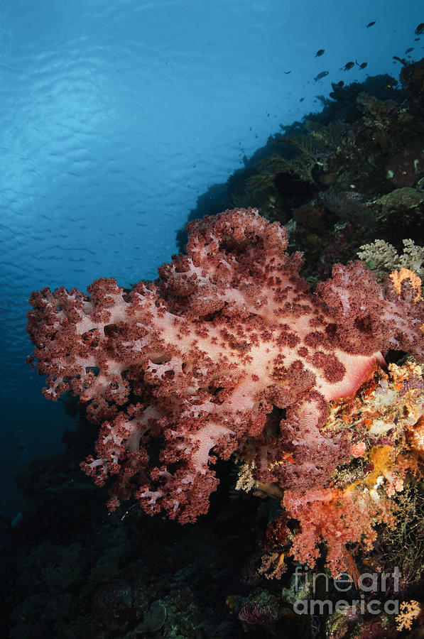 Ocean Photograph - Soft Coral Seascape,  Indonesia by Todd Winner