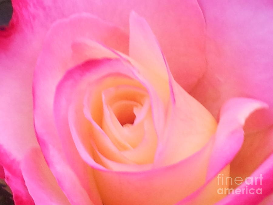 Rose Photograph - Soft Pink Rose by Saifon Anaya