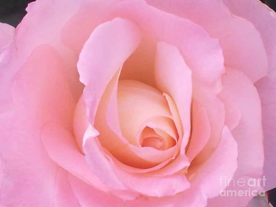 Roses Photograph - Soft by Saifon Anaya