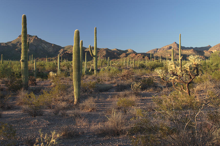 Organpipe National Monument Photograph - Sonoran Desert Scene With Saguaro by George Grall