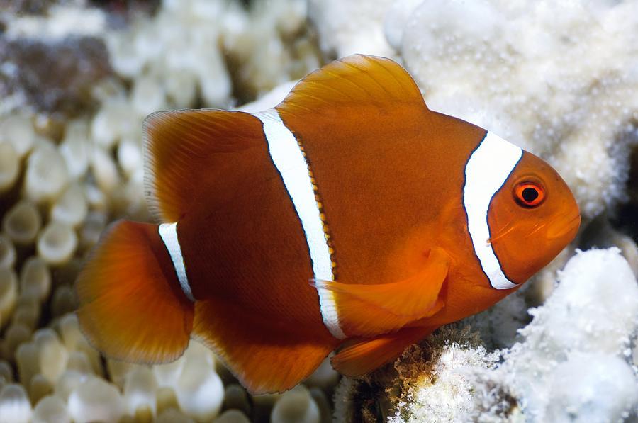 Animal Photograph - Spinecheek Anemonefish by Georgette Douwma