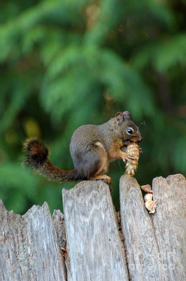 Squirrel Photograph - Squirrel by Marsha Thornton
