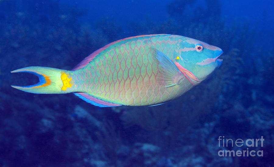 Stoplight Parrotfish On Caribbean Reef Photograph By Karen