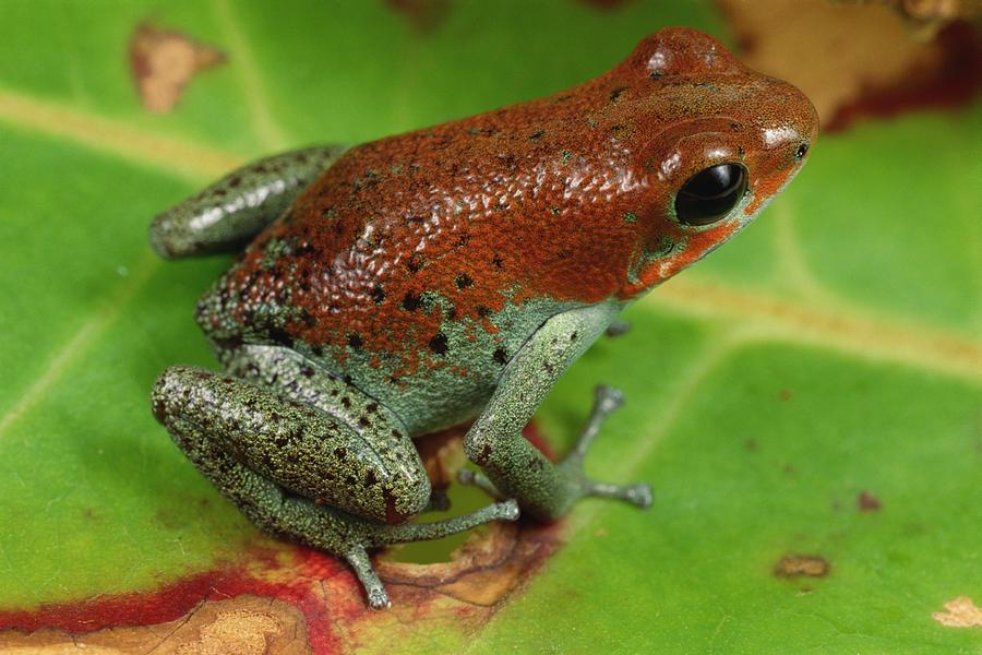 Strawberry Poison Dart Frog Dendrobates Photograph by Mark Moffett