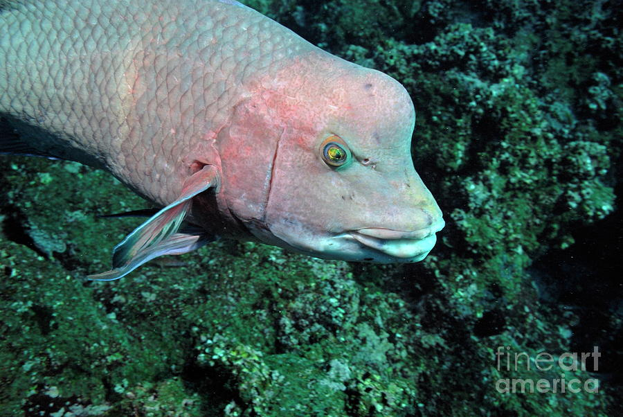 Freedom Photograph - Streamer Hogfish Or Mexican Hogfish by Sami Sarkis