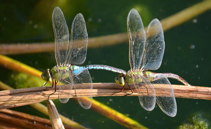 Dragonflies Mating Photograph - Stuck On You by Fraida Gutovich