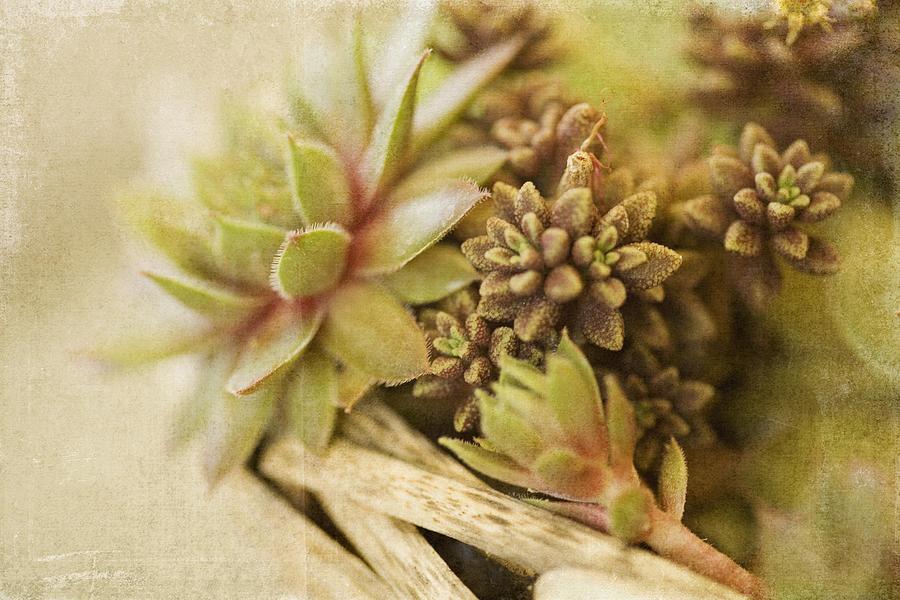 Succulents Photograph - Succulents by Bonnie Bruno