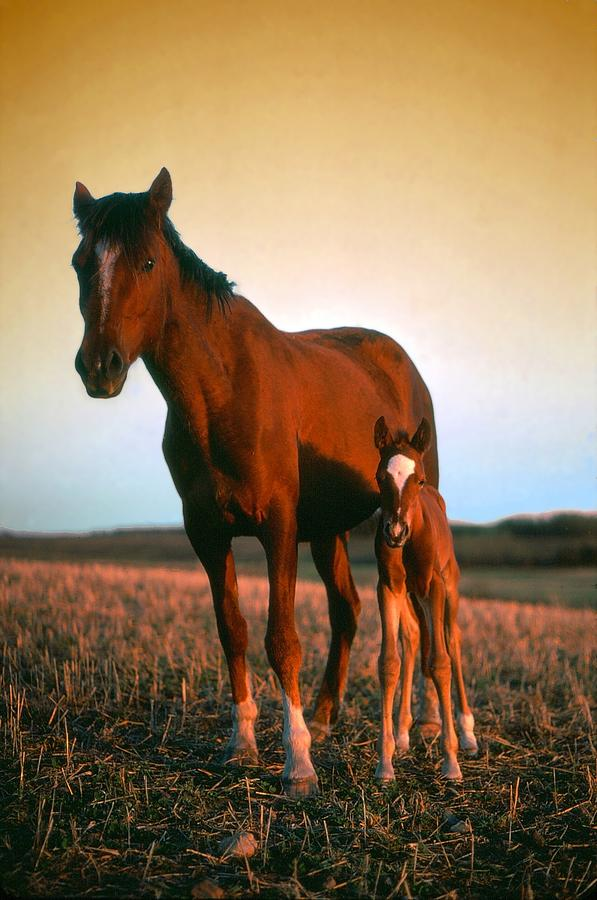 Horses Photograph - Sundown by Jim Sauchyn