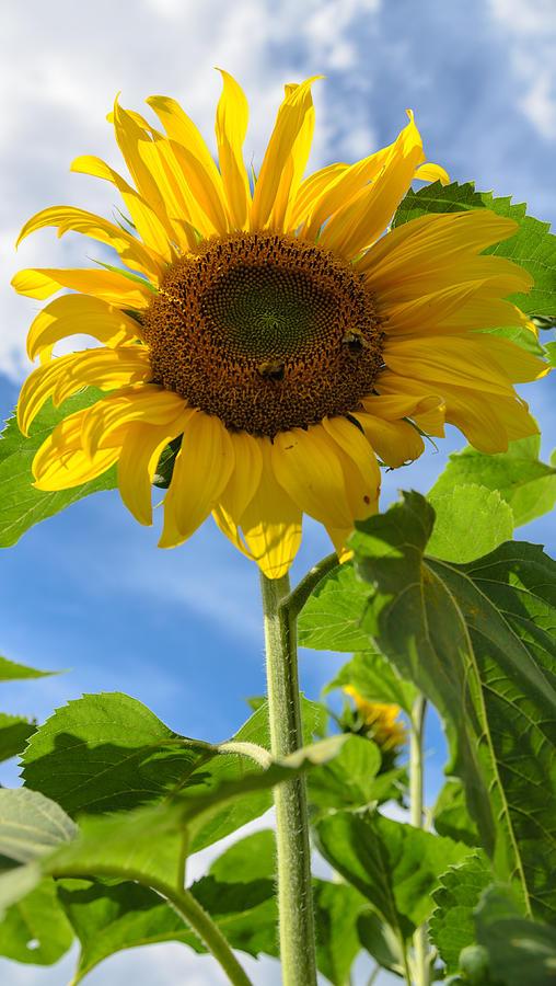 Orange Photograph - Sunflower by Michael Goyberg