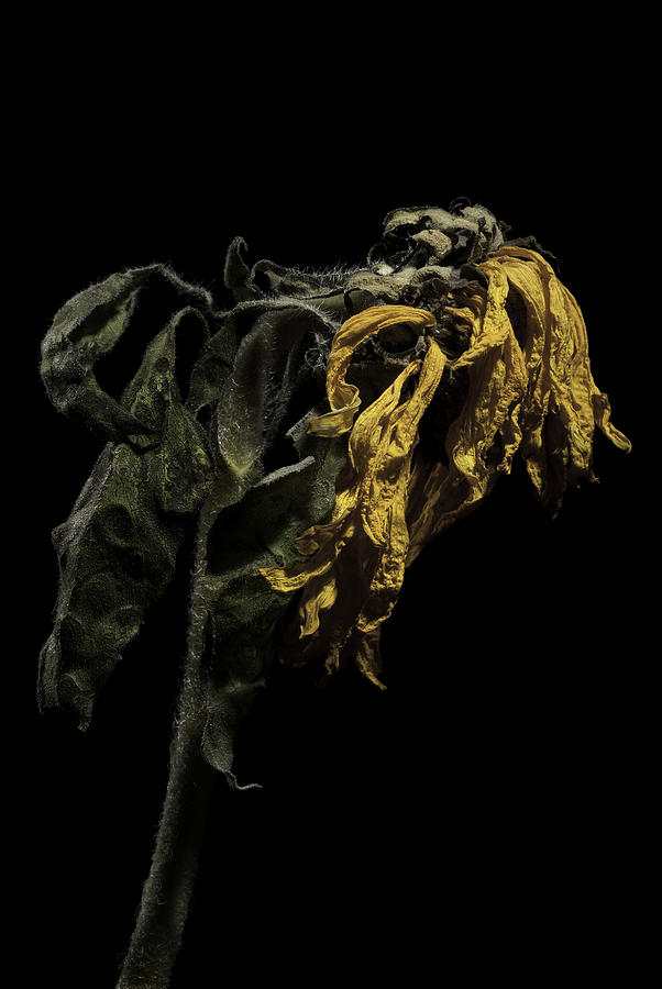 Flower Photograph - Sunflower by Nathaniel Kolby