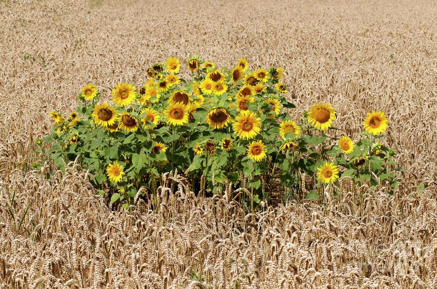 Field Photograph - Sunflowers by Bernard Jaubert