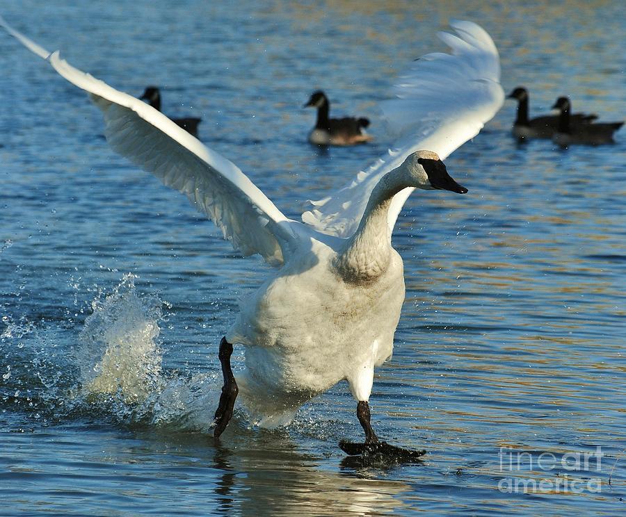 Swan Photograph - Swan Lake by Joy Bradley