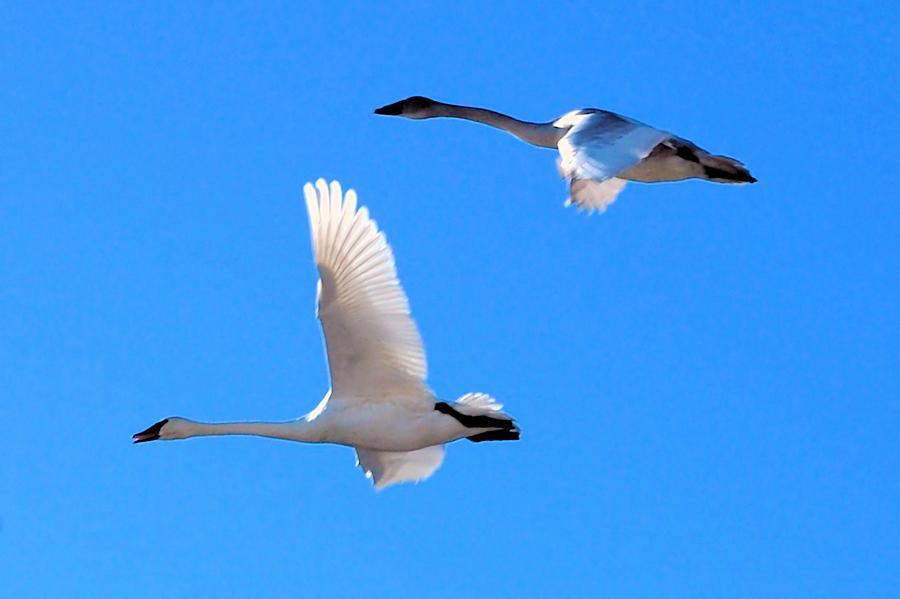 Swan Photograph - Swans On Blue Sky by Don Mann