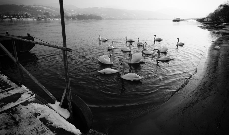 Danube Photograph - Swans On River Danube by Tibor Puski