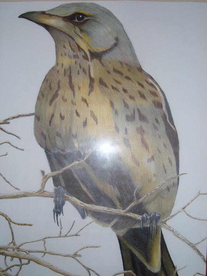 Wild Life Drawing - Swedish Bird by Per-erik Sjogren