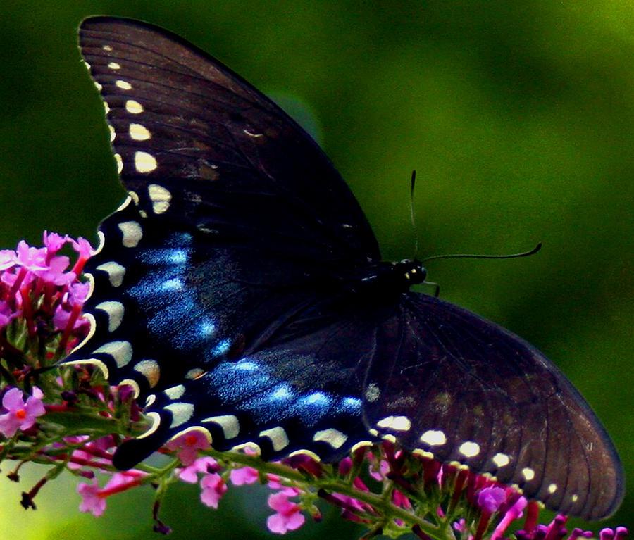 Swallowtail Butterfly Photograph - Take Off by Virginia Pakkala