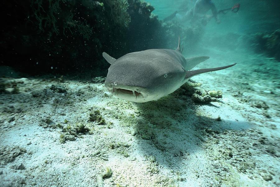 Mp Photograph - Tawny Nurse Shark Nebrius Ferrugineus by Mike Parry