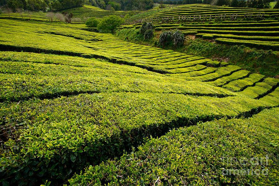 Tea Gardens Photograph - Tea Gardens by Gaspar Avila