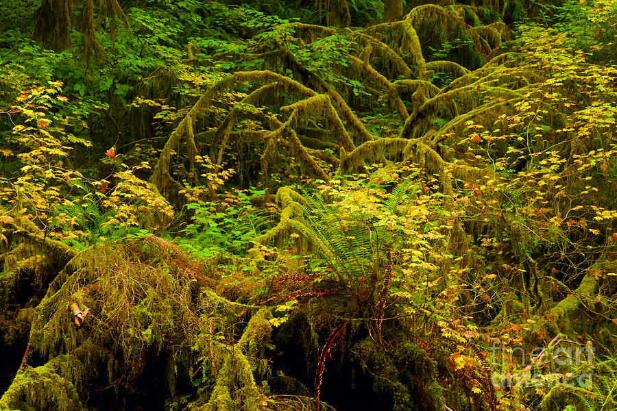 Silver Falls State Park Photograph - Temperate Rain Forest by Adam Jewell