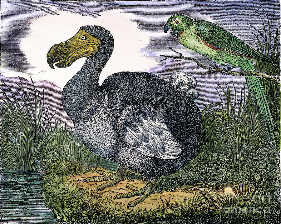 1833 Photograph - The Mauritius Dodo by Granger