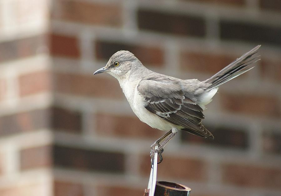Birds Photograph - The Mocking Bird by Rick Friedle