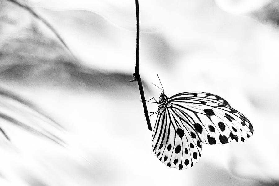 The paper kite butterfly in black and white photograph by for White paper butterflies