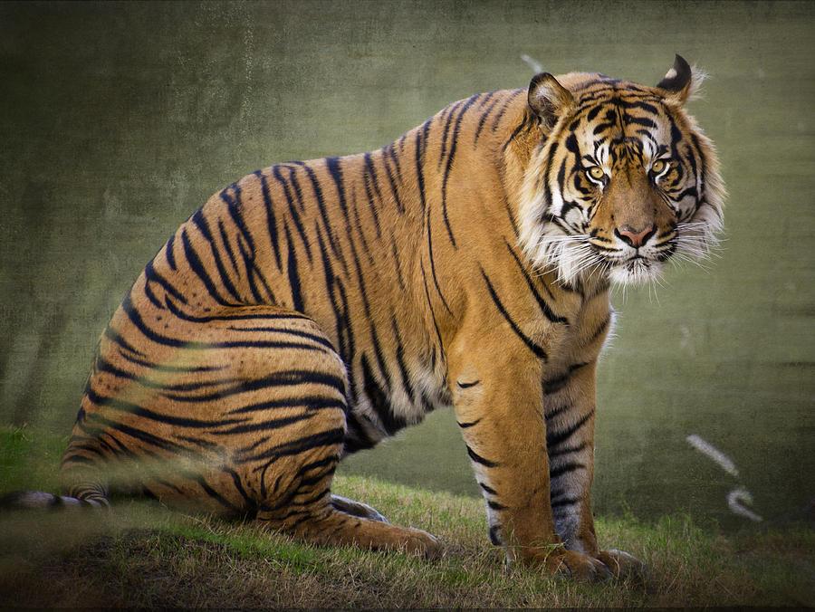 The Sumatran Tiger Photograph By Saija Lehtonen