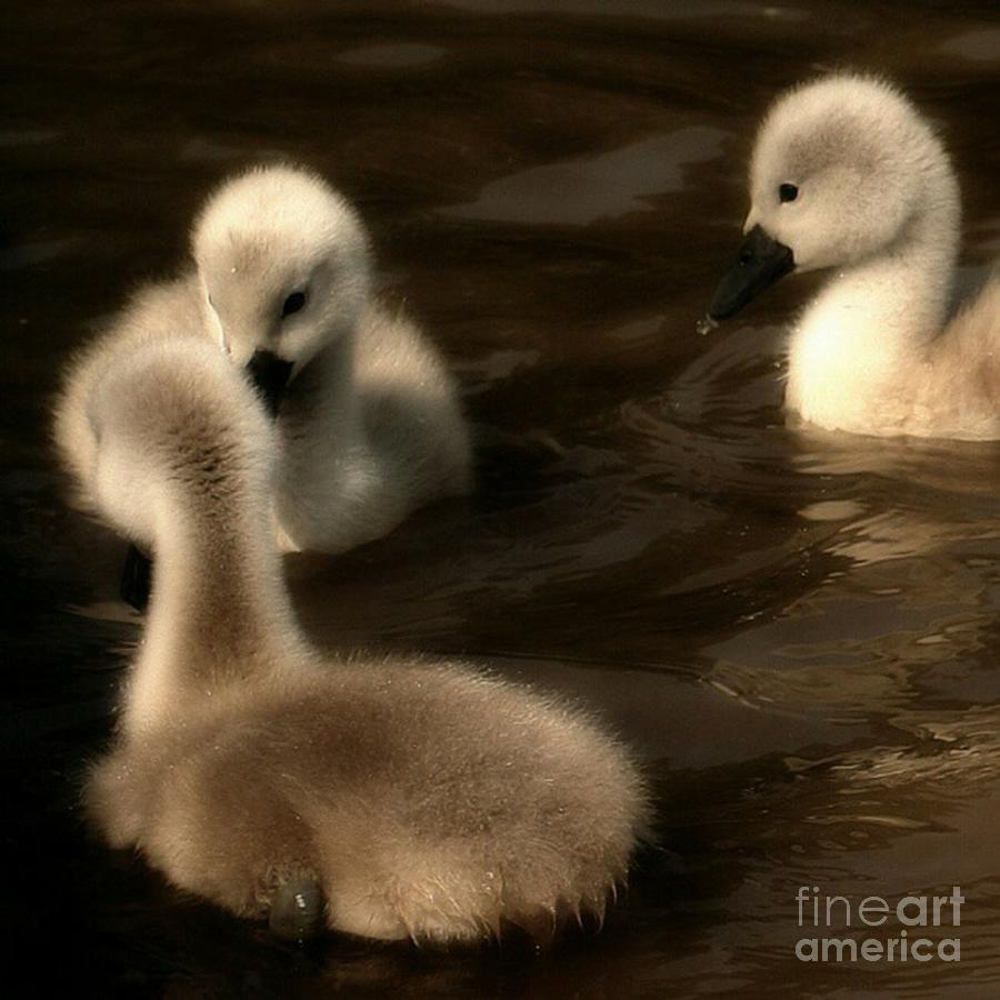 Cygnets Photograph - They Called You An Ugly What by YoursByShores Isabella Shores