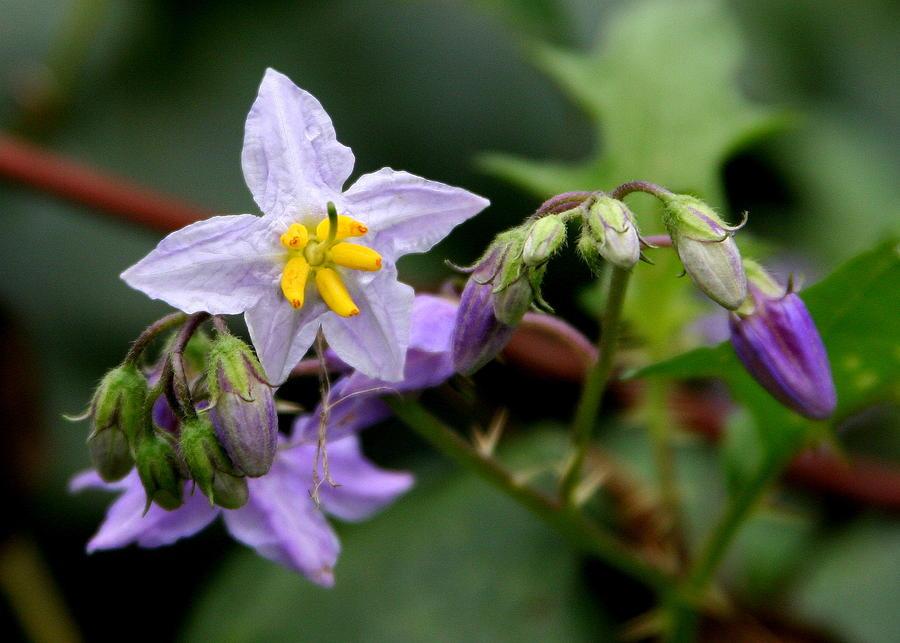 Thistle Photograph - Thistle Flowers by Paula Tohline Calhoun