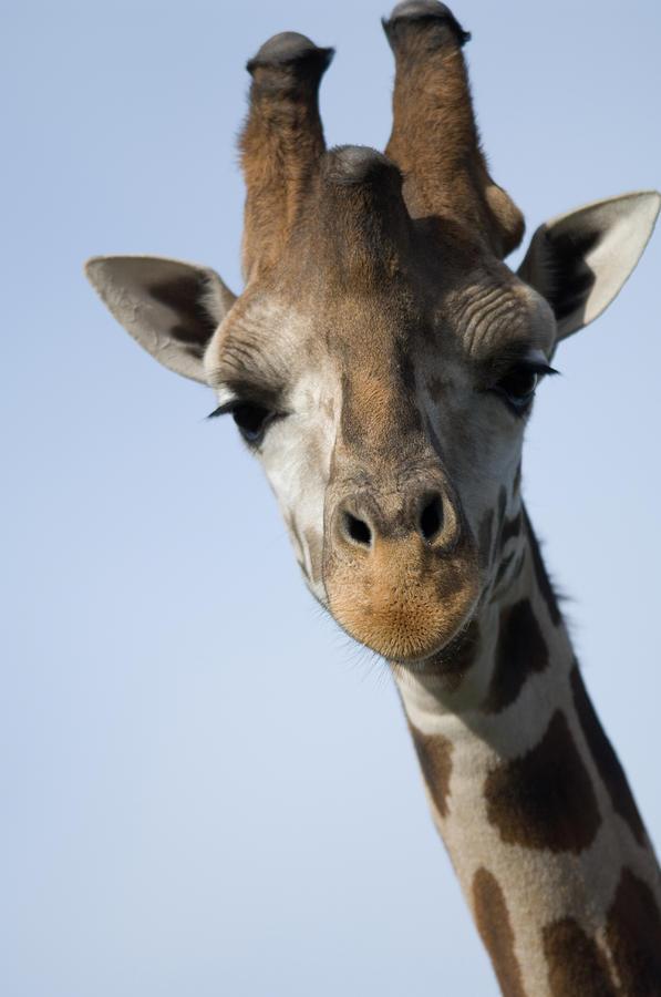 Nobody Photograph - Thompsons Giraffe Giraffa Camelopardalis by Joel Sartore