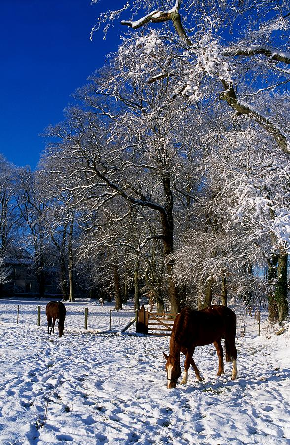 Agriculture Photograph - Thoroughbred Horses, Mares In Snow by The Irish Image Collection