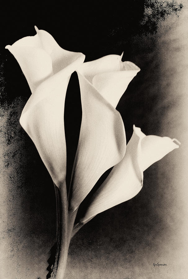 Floral Photograph - Three Calla Lilies by Lisa  Spencer