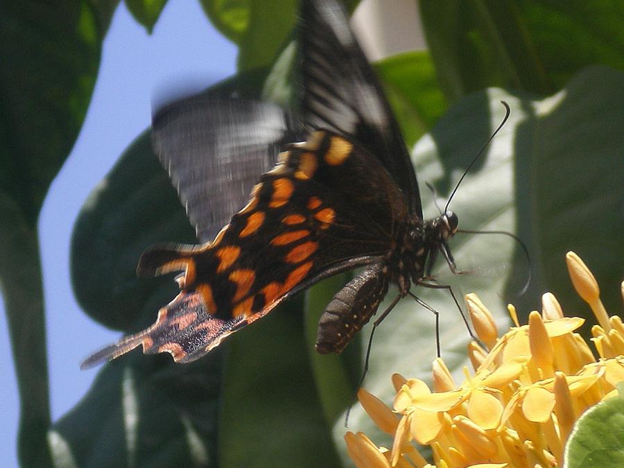 Tiger Butterfly Photograph by Rupak Sengupta