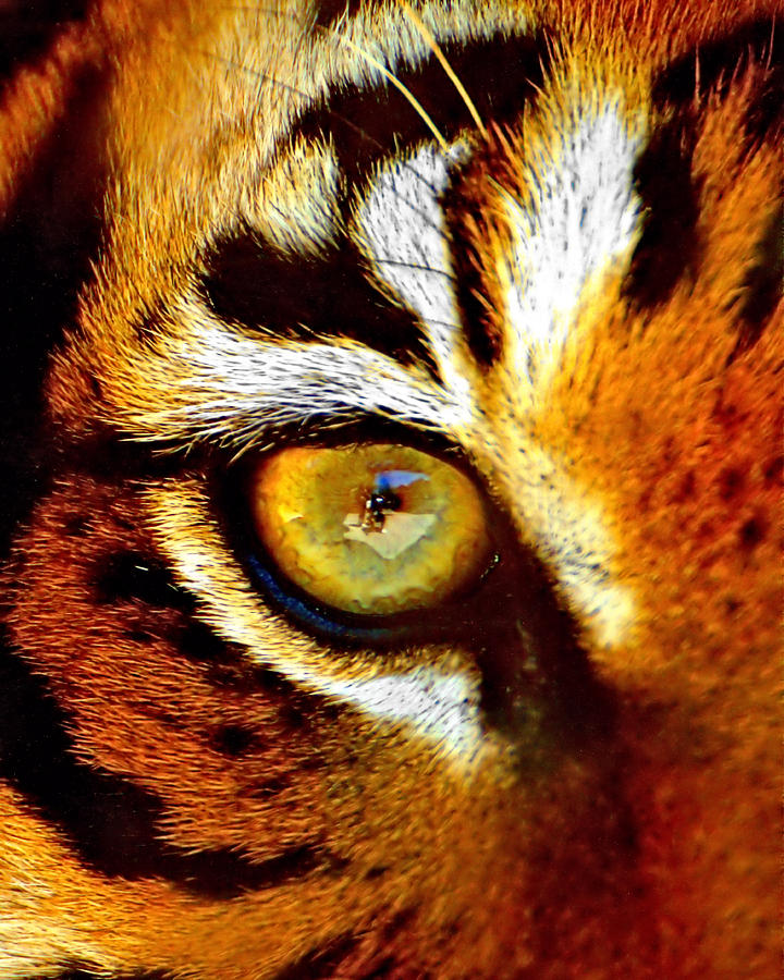 Tigers Eye Photograph by Marlo Horne