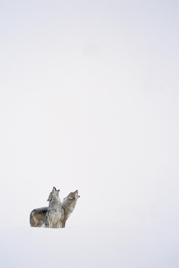 Timber Wolf Pair Howling In Snow North Photograph by Tim Fitzharris