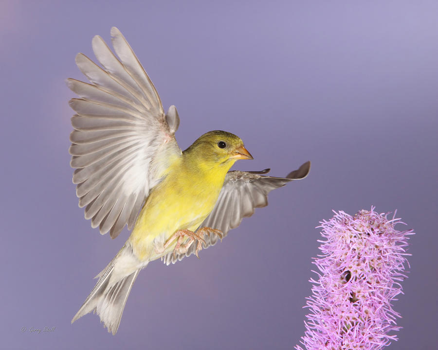 Nature Photograph - Touch Down by Gerry Sibell
