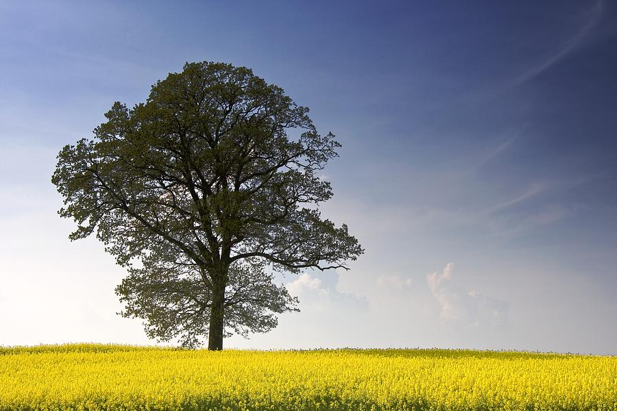Agriculture Photograph - Tree In A Rapeseed Field, Yorkshire by John Short
