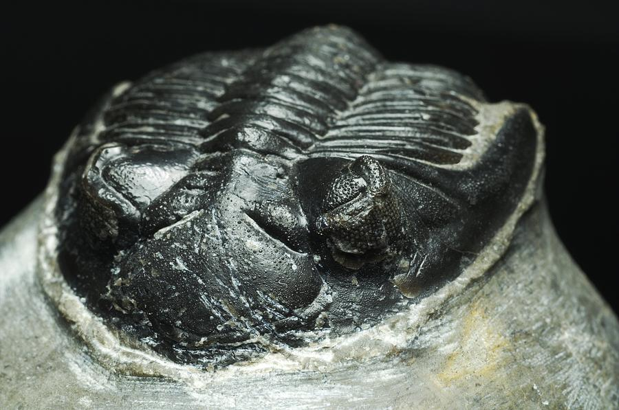 North African Photograph - Trilobite Fossil by Lawrence Lawry