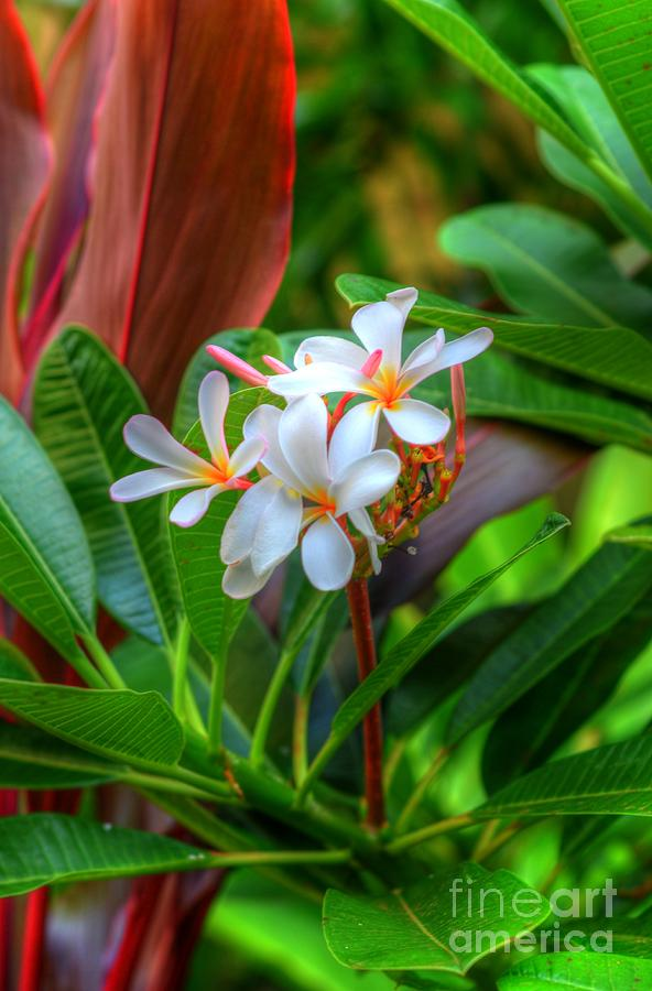Plumerias Photograph - Tropical  by Kelly Wade