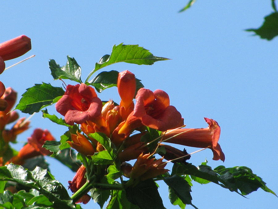 Trumpet Vine Photograph - Trumpet Vine by Alfred Ng