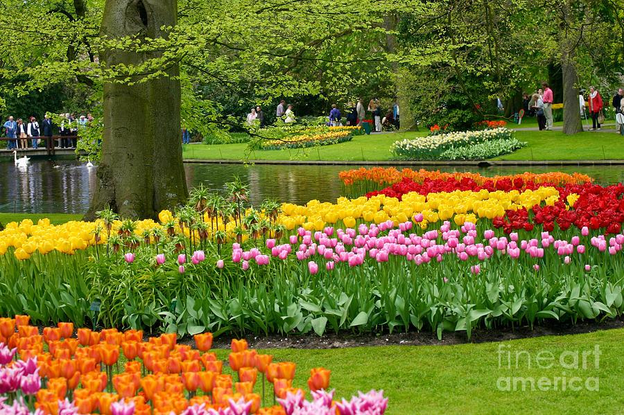 Background Photograph - Tulip Garden  by B S Karan