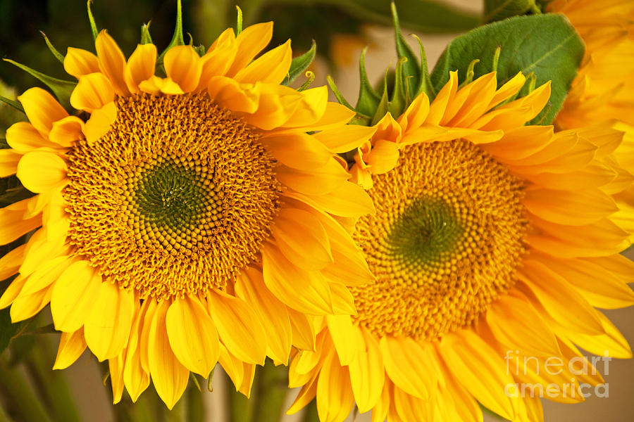 Sunflower Photograph - Twins by Bob and Nancy Kendrick