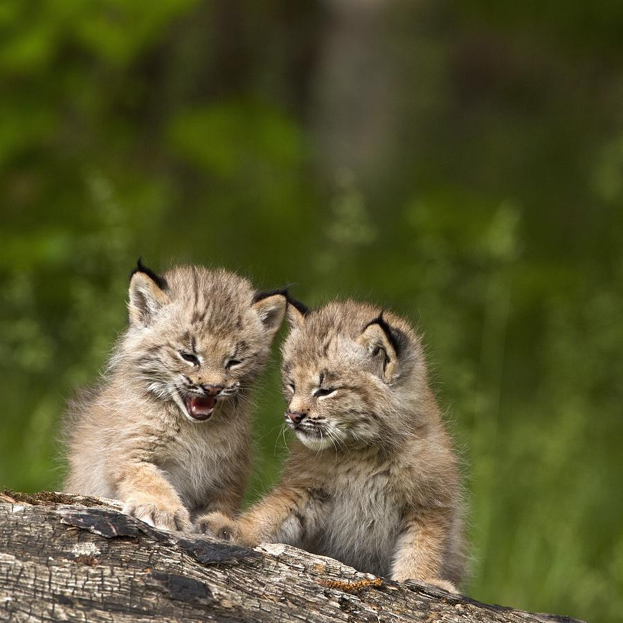 Two Canada Lynx Lynx Canadensis Kittens Photograph By