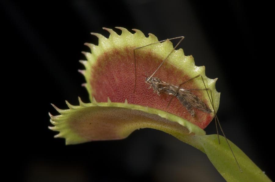 Atlanta Photograph - Venus Flytraps As They Consume Insects by Joel Sartore